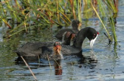 mother coot and her chicks