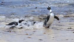 Africa penguins enjoying the gentle waves at Boulder's Beach