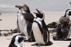 The African penguin was called Jackass penguin as they bray like donkeys